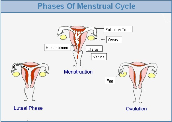 stages of menstrual cycle pdf